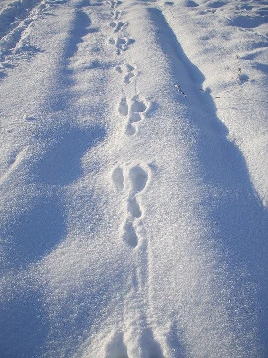 Jäniksen jäljet lumessa